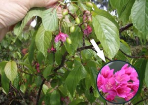 Taiwan cherry nelson city council the taiwan cherry is a deciduous tree that grows up to 8m high its leaves are serrated thin and cherry like the flowers are deep pink in bell shaped mightylinksfo
